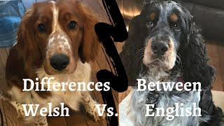 Differences between an English and a Welsh Springer Spaniel