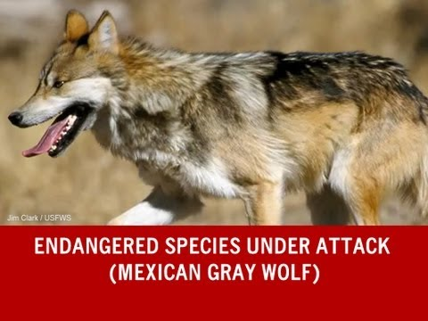 Endangered Species Under Attack (Mexican Gray Wolf)
