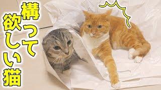 茶トラ猫の「ちゃい」と、サバトラ猫の「すし」が大きな袋で遊んでいま...