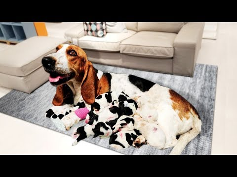 Basset Hound dog in labor and giving birth to cute puppies