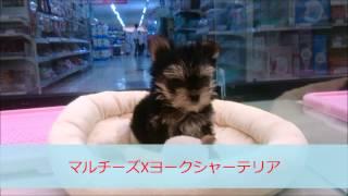 マルワンのMIX犬は一味違う、本当にいいトコ取りの最強MIXです! 今回の...