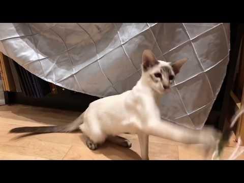 Balinese Cat Darci - Super Kitty