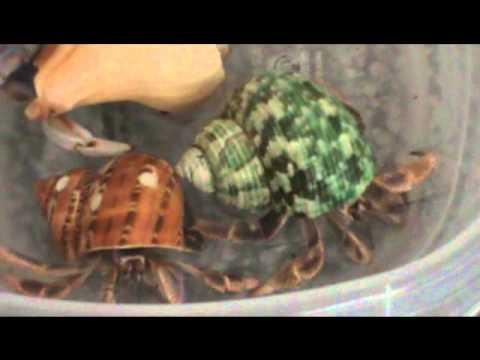 Hermit Crab Bathing