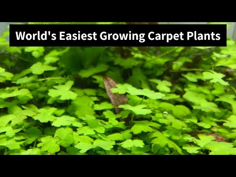 Hydrocotyle Tripartita Mini -World's easiest growing carpet plants [2019]