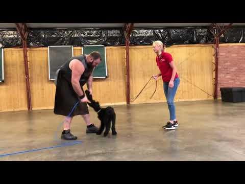 """Super Amazing Giant Schnauzer Female """"Thyme"""" 15 Wks Early Protection Testing & Training"""