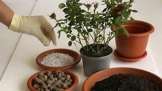 видео Пересадка комнатных растений, комнатные цветы пересадка, пересадка горшечных растений