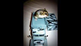 Фотосессия  моего хомячка / Photo shoot with my hamsters