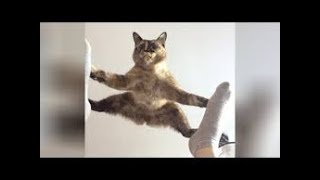 Boss Cats  Funny Cat Video Compilation 2020