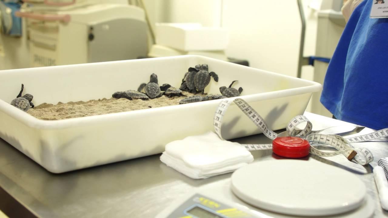 Tortugas nacidas en Sueca vuelven al mar
