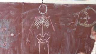 8 Осевой скелет, пояс конечностей и свободные конечности