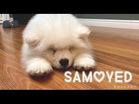 Мы купили собаку породы Самоед Ватерлоо Канада