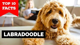 Labradoodle  Top 10 Facts