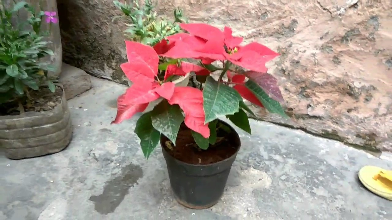 How To Grow Cristmas Plant Care And Tips Poinsettia