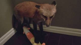 Noises foxes make when they don't want to share(Boots)