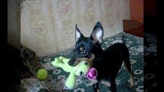 Той Терьер - умный собак!