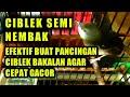 Ciblek Semi Nembak Efektif Buat Pancingan Ciblek Agar Cepat Gacor Full isian(.mp3 .mp4) Mp3 - Mp4 Download