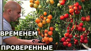 Почему я ВСЕГДА сажаю ЭТИ СОРТА томатов?