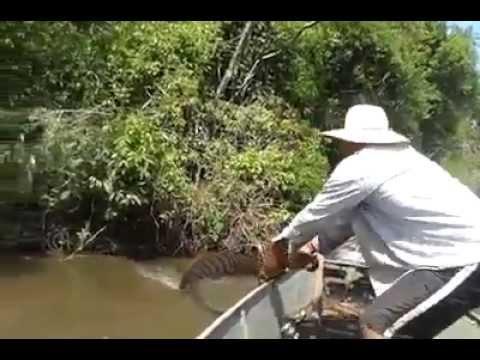Pescadores arrastam cobra sucuri gigante
