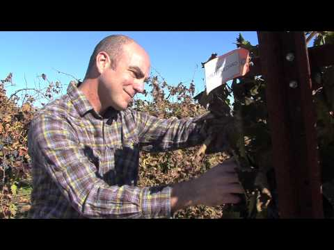 UC research aims to improve quality, yield of wine grapes
