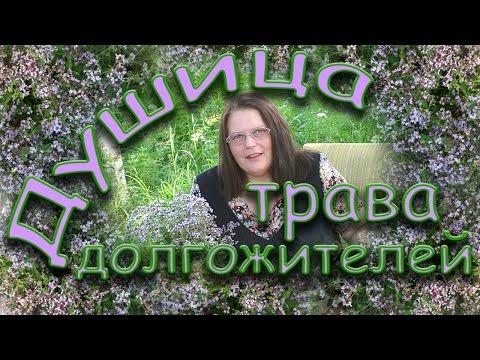 Душица обыкновенная (орегано) – описание с фото травы; ее