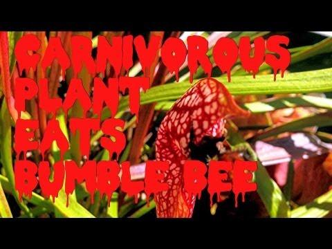 Equilibrio Carnivorous Plants Carnivorous Plant Eats Bumble