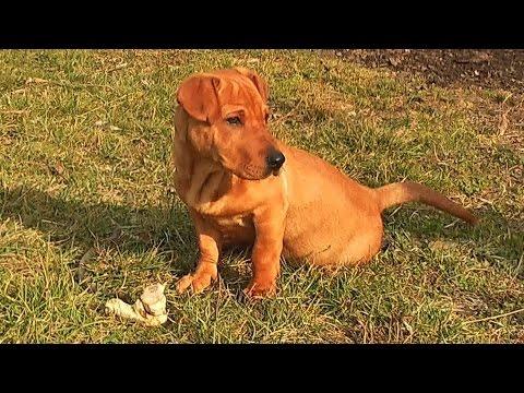 "Tofy kutya - ""Tofy"" the Shar Pei - Dachshund or Basset? Mixed Breed Dog"