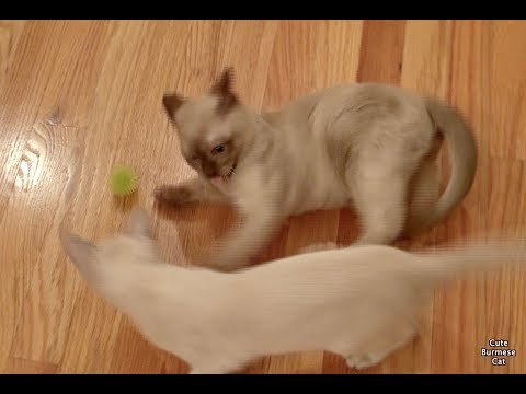 BURMESE KITTENS Play with a Ball Toy! Too Cute!!