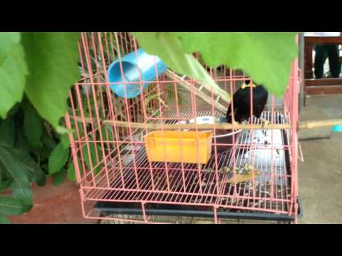 The Bird Parot in Cambodia can speak