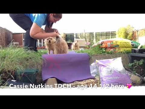 Norwich Terrier TDCH's Favourite Tricks
