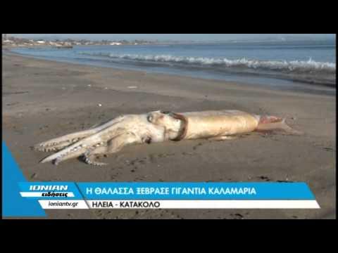 Η θάλασσα ξέβρασε γιγάντια καλαμάρια - Ηλεία-Κατάκολο