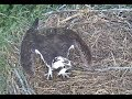Luther works on the nest then spies an intruder 2017 07 20 06 40 49 790
