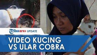 Viral Video Kucing Lawan 3 Ular Kobra yang Hendak Masuk Rumah di Mojokerto