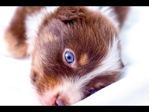 Clicker training 8 week old Miniature Australian Shepherd, smart puppy!