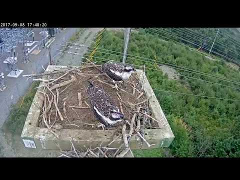 Ospreys of Newfoundland & Labrador 9 8 17 456pm & 652pm Beaumont delivers fish Lucky was owning the
