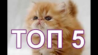 ТОП 5 ПОПУЛЯРНЫХ ПОРОД КОШЕК В МИРЕ 2017