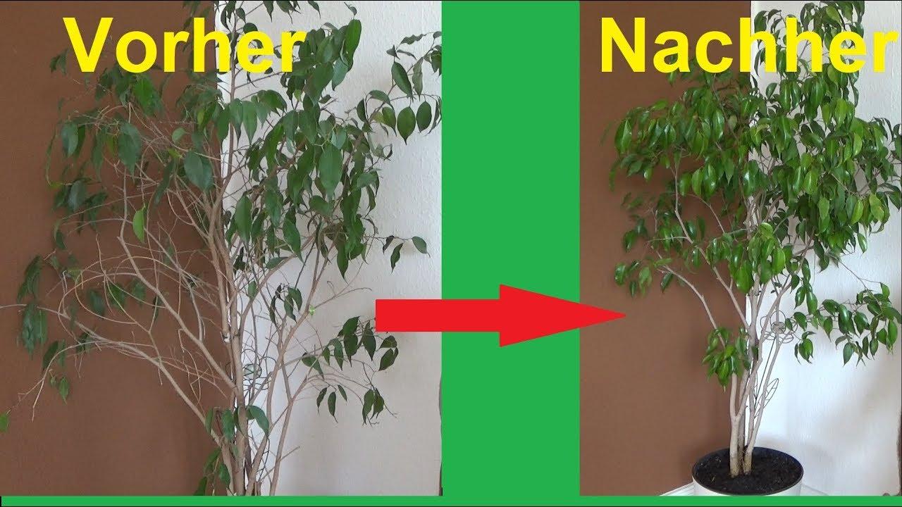 Berühmt Birkenfeige geht ein Birkenfeige Ficus Benjamini verliert blätter @QV_24