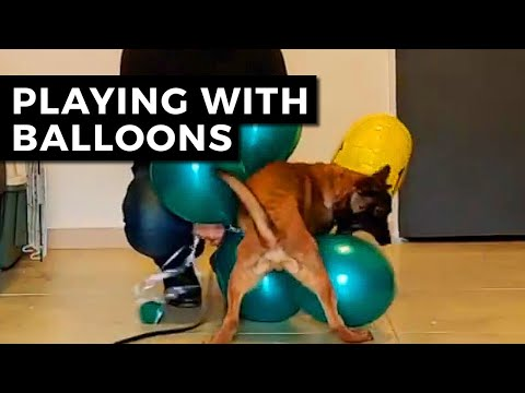 belgian-malinois-puppy-funny---echo-malinois-puppy-playing-with-balloons