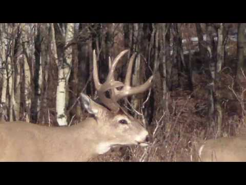 Big Whitetail Bucks In Calgary, AB 2019
