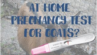 AT HOME PREGNANCY TEST FOR GOATS?