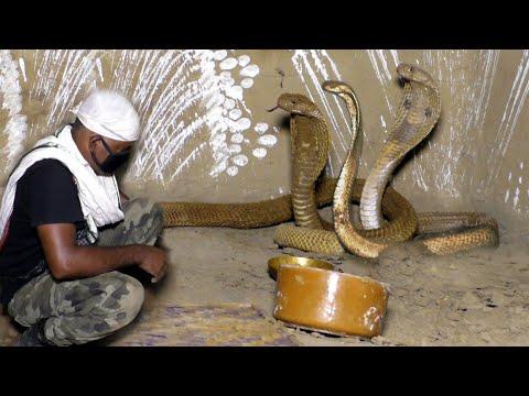 तीन खतरनाक नाग Rescue Three Dangerous Venomous Cobra In One Place From: Kenduapada, Bhadrak,Odisha