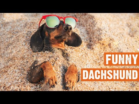 funny-dachshund-compilation