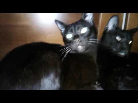 Havana Brown Cats Gauderic & Tikhon