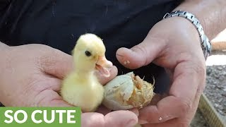 Duckling stuck in shell saved at the last minute