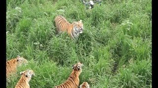 Flying drone becomes prey for tiger