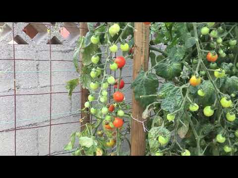 Impressive Cherry Tomatoes--Incredible Fruit Formation