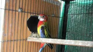 3N Birds My Golden Mantle Rosella Breeding Pair.