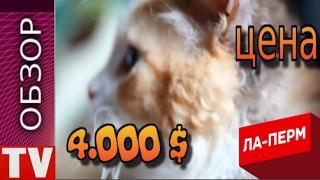 ПУШКИНО  Кошка  ЛА ПЕРМ  Дорого  и  Красиво цена   4 000 $