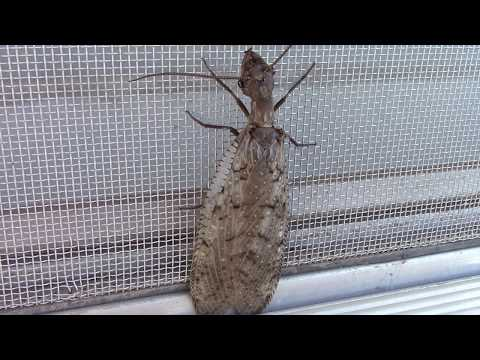 Dobsonfly away from water. AKA Adult Form of the Hellgrammite.