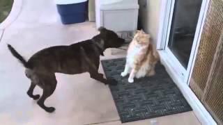 Рыжий Мейн Кун и собака
