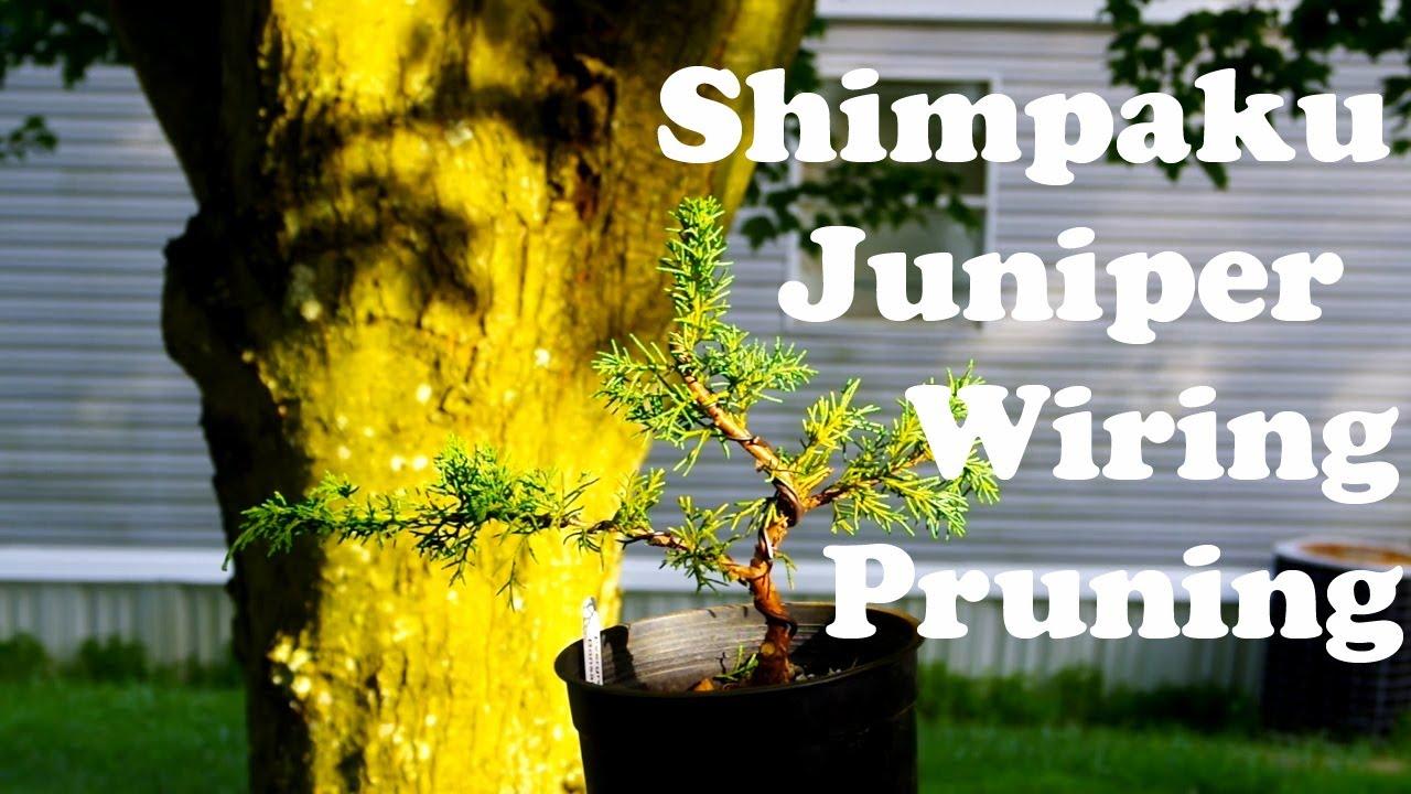 Wiring A Bonsai Juniper Free Diagram For You Tree And Pruning Shimpaku Youtube Azalea